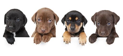 הריון והמלטה בכלבות